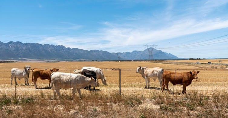 Cattle grazing on a farm near Tulbagh in the Western Cape, South Africa. Peter Titmuss/Education Images/Universal Images Group via Getty Images