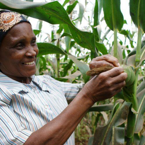 Wambui Mwihaki, a farmer from central Kenya, taking stock of her thriving maize crop following adoption of push-pull technology. Image by David Njagi.